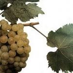 Описание сорта винограда «Авгалия»
