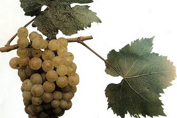 sort-vinograda-avgaliya