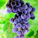 opisanie-sortov-vinograda