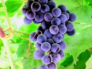 sort-vinograda-avgusta