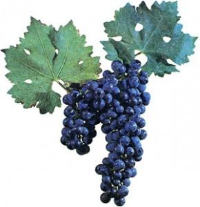foto-sorta-vinograda-kaberne-fran-1