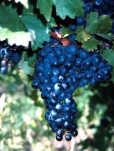 foto-sorta-vinograda-kaberne-sovinyon-1