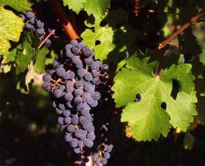 foto-sorta-vinograda-kaberne-sovinyon