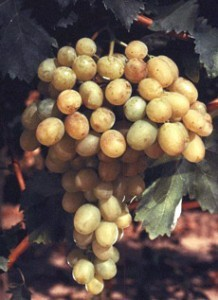 foto-sorta-vinograda-karaburnu-1