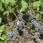 Описание сорта винограда «Карагай»