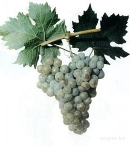 foto-sorta-vinograda-kavkazskij-rannij