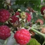 Описание сорта малины Барнаульская