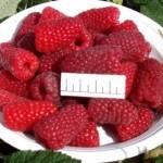 Описание сорта малины «Брянская»