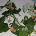 Описание сорта малины «Дочь амурчанки»