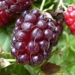 Описание сорта малины «Малаховка»