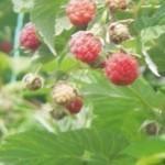 Описание сорта малины «Муза»