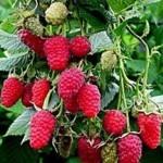 Описание сорта малины «Теньковская ранняя»