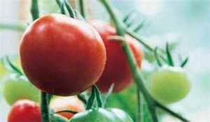 foto-sorta-tomata-pomidora-azhlun