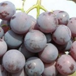 Описание сорта винограда Кардинал