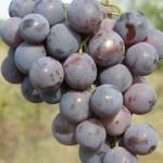 Описание сорта винограда Кардинал Анапский
