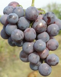 foto-sorta-vinograda-kardinal-anapskij