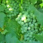 Описание сорта винограда Каспаровский