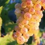 Описание сорта винограда Клерет белый