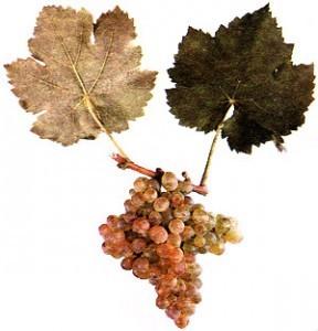 foto-sorta-vinograda-kleret-belyj