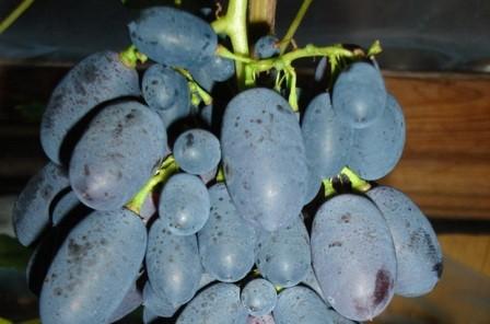 foto-sorta-vinograda-kodryanka