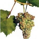 Описание сорта винограда Коринка русская