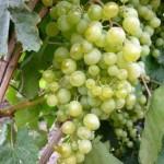 Описание сорта винограда Краса севера