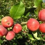 Описание сорта яблони Алтайский голубок
