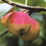 Описание сорта яблони Августовское дальневосточное
