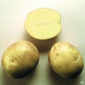 foto-sorta-kartofelya-aksamit