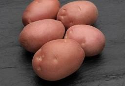 foto-sorta-kartofelya-kanberra
