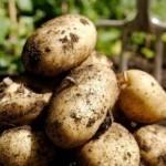 Описание сорта картофеля Королле
