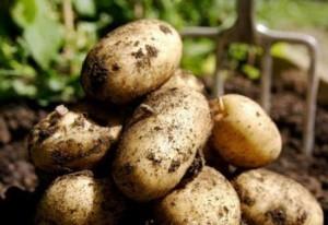 foto-sorta-kartofelya-korolle