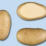 Описание сорта картофеля Леди Олимпия