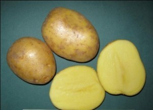 картофель холмогорский описание сорта фото отзывы