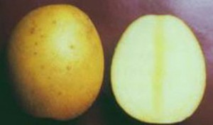 foto-sorta-kartofelya-molli