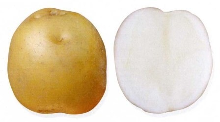 foto-sorta-kartofelya-moskvoreckij