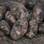 Описание сорта картофеля Забава