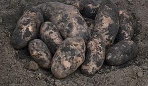 Картофель забава описание сорта фото