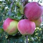 Описание сорта яблони Аэлита