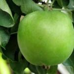 Описание сорта яблони Альпинист