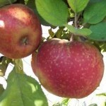 Описание сорта яблони Алтайское крапчатое