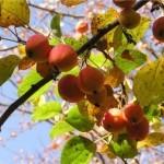 Описание сорта яблони Алтайское пурпуровое