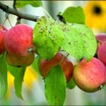 Описание сорта яблони Алтайское румяное