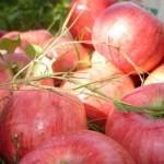Описание сорта яблони Алтынай