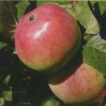 Описание сорта яблони Анис алый