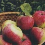 Описание сорта яблони Анис полосатый