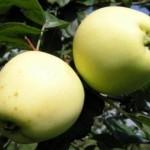 Описание сорта яблони Аркад теньковский