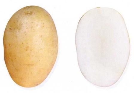 foto-sorta-kartofelya-ocharovanie