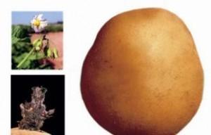 foto-sorta-kartofelya-pirol