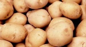 foto-sorta-kartofelya-sagitta